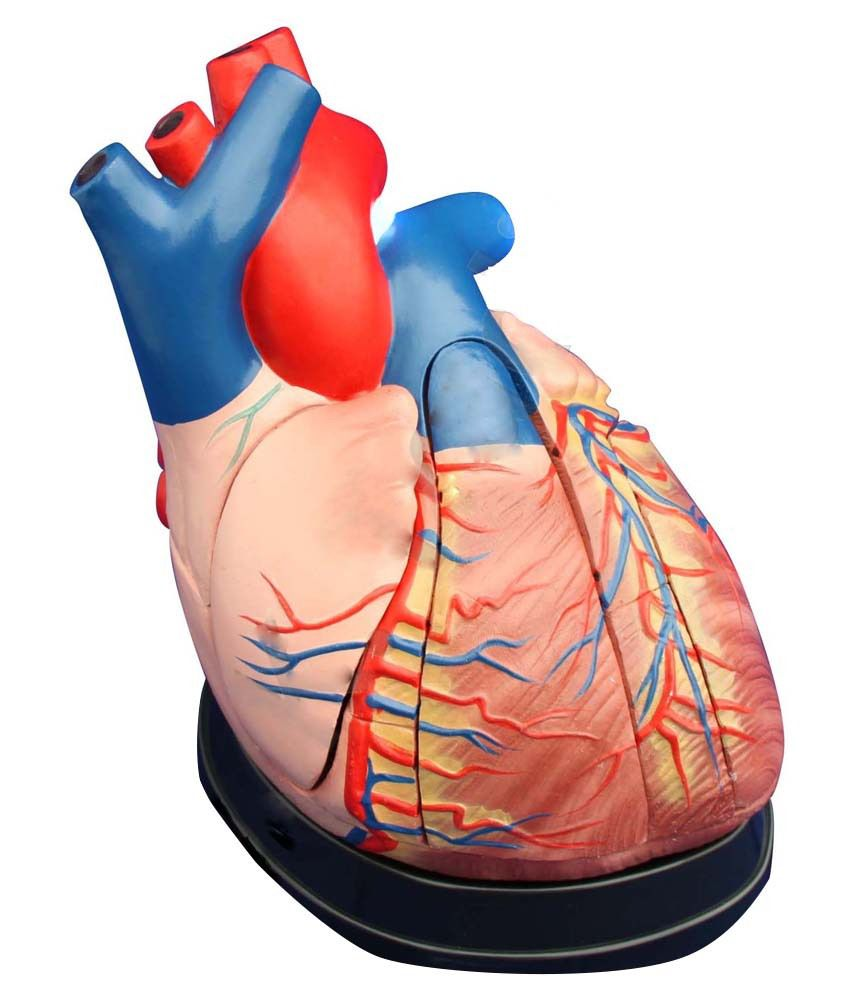 Indian Scientific Company Fiber Red Human Heart Anatomy Model Buy