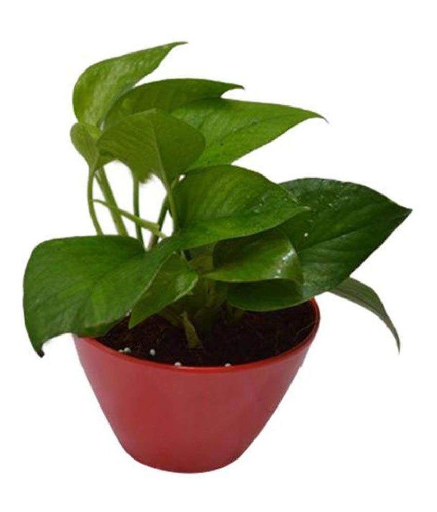 Green living indoor plant green pothos in red fiber pot for Indoor green plants images