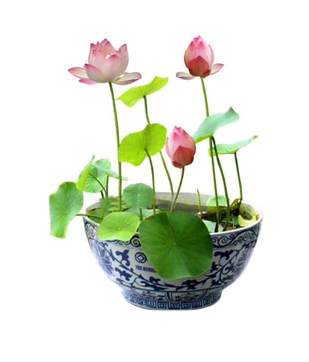 Neha multi color lotus flower nelumbo nucifera seeds 10 pieces buy neha multi color lotus flower nelumbo nucifera seeds 10 pieces mightylinksfo