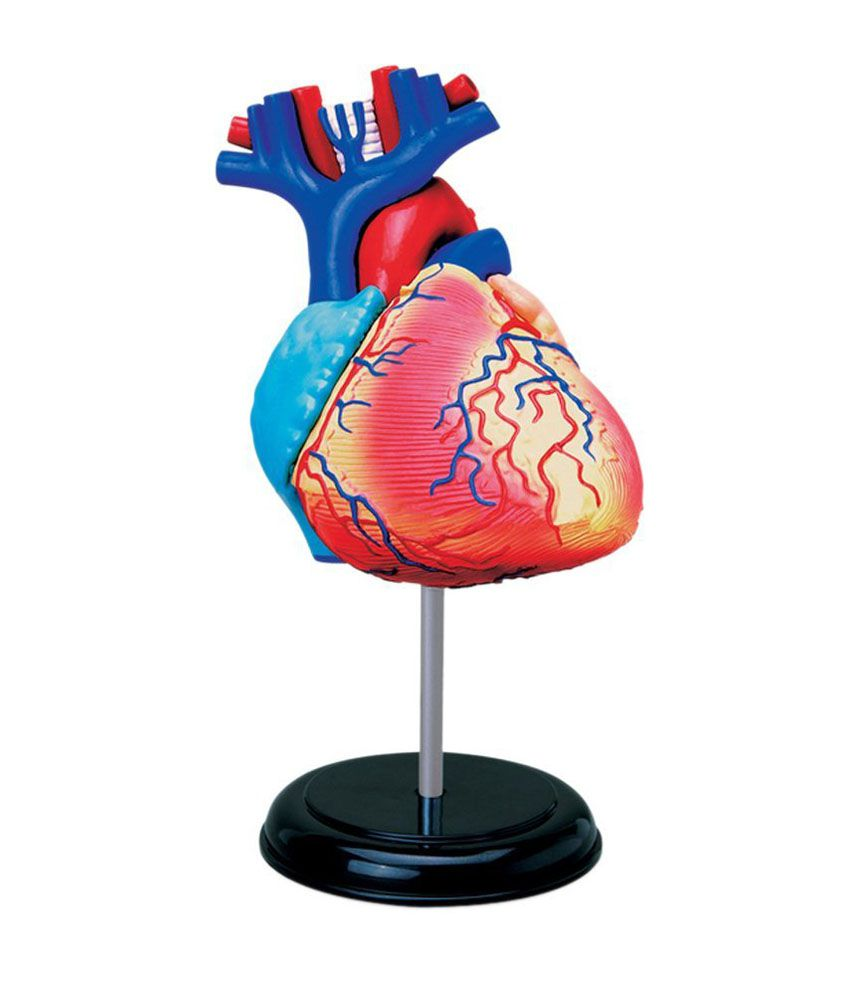 Human Heart Anatomy Model - 31 Parts Puzzle - Height - 5 inch - Buy ...