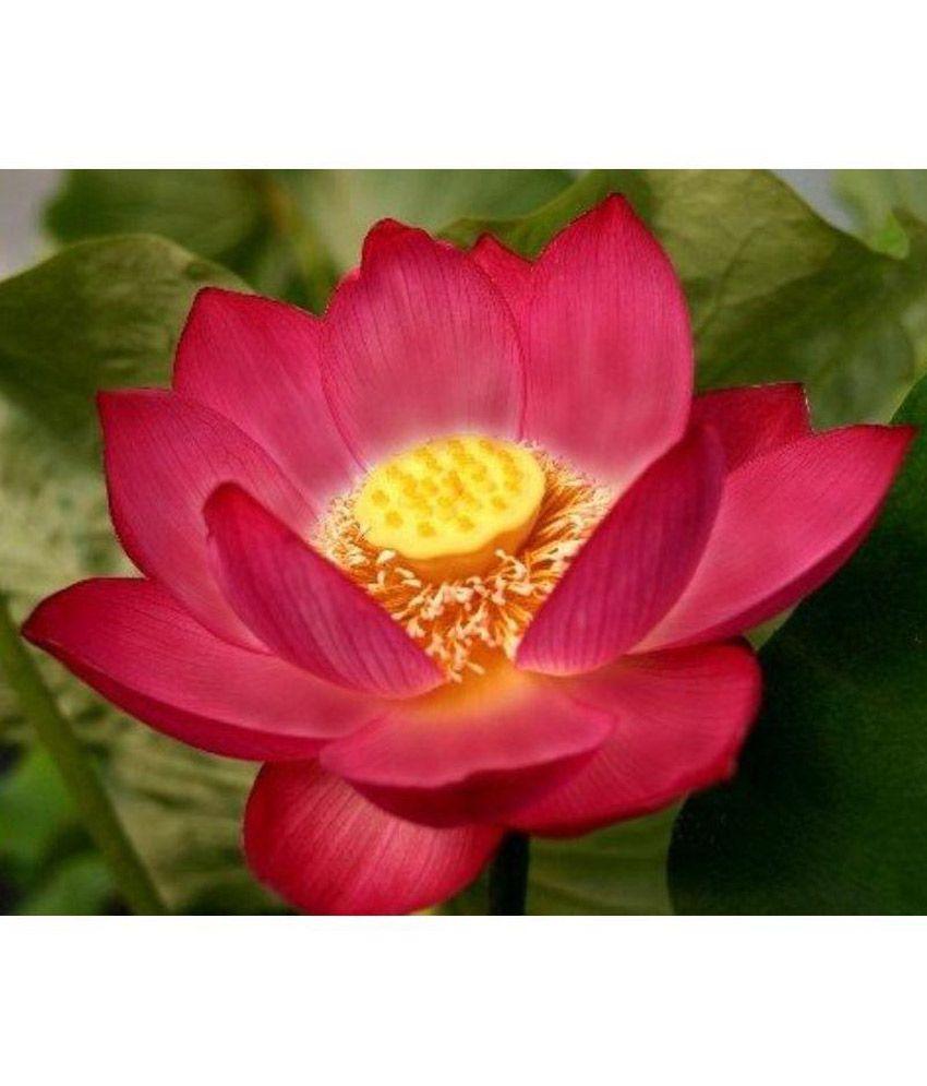 Sa heli lotus flower seeds buy sa heli lotus flower seeds online at sa heli lotus flower seeds mightylinksfo