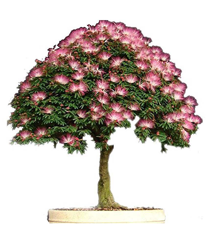 Futaba bonsai albizia flower mimosa silk tree seeds 20 pieces buy futaba bonsai albizia flower mimosa silk tree seeds 20 pieces mightylinksfo