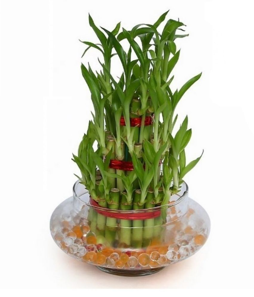 Extra 10% Off On Plants & Gardening By Snapdeal   Green Plant Indoor 3 Layer Lucky Bamboo Plant @ Rs.515