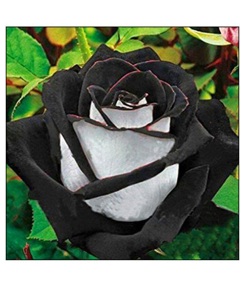 Futaba rare white and black rose seed flower seeds buy futaba rare futaba rare white and black rose seed flower seeds mightylinksfo
