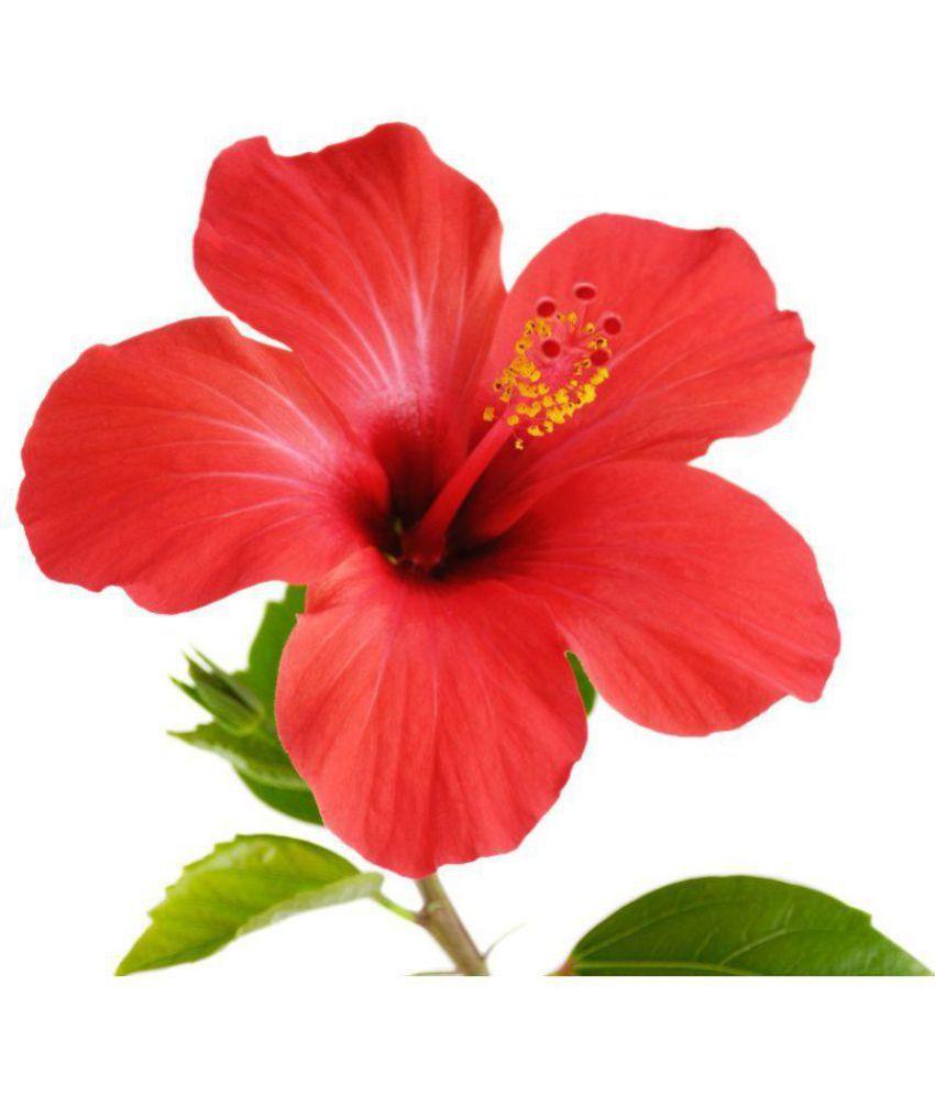 E Garden Ballerina Dinner Hibiscus Flower Seeds Buy E Garden
