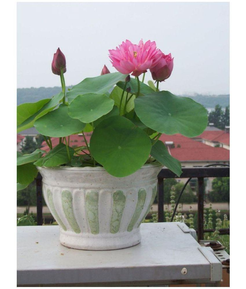 E Garden Pink Lotus Flower Seeds Buy E Garden Pink Lotus Flower