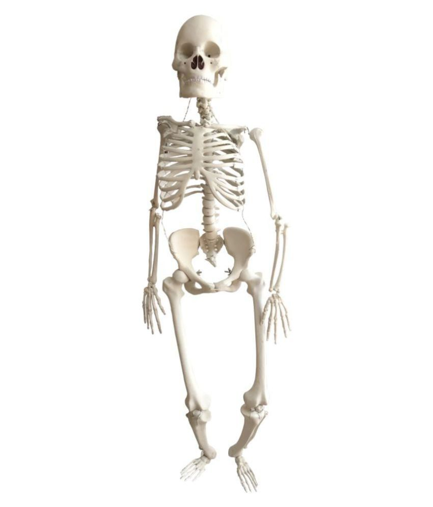Herindera Scientific Educational Model of Human Skeleton without Stand