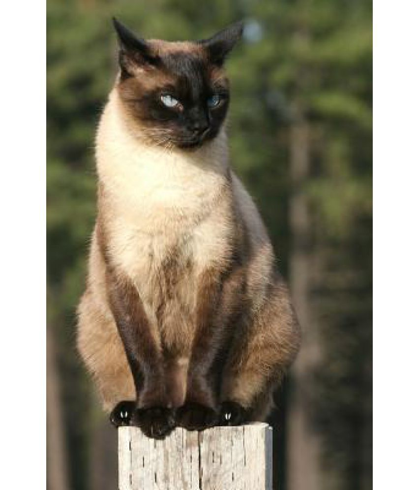 Siamese Cat Perched On A Post Journal Buy Siamese Cat Perched On A Post Journal Online At Low Price In India On Snapdeal