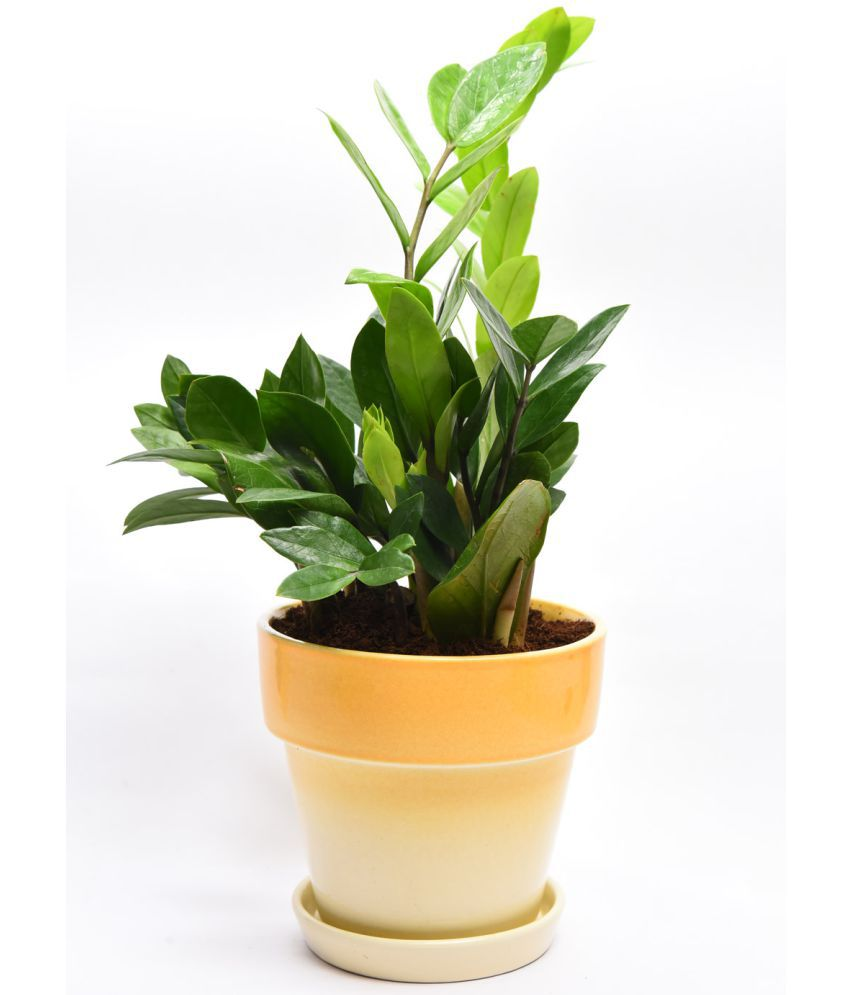 Sheel Greens Z plant Indoor Indoor Plant ...