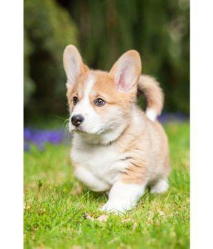 Cute Pembroke Welsh Corgi Puppy Dog