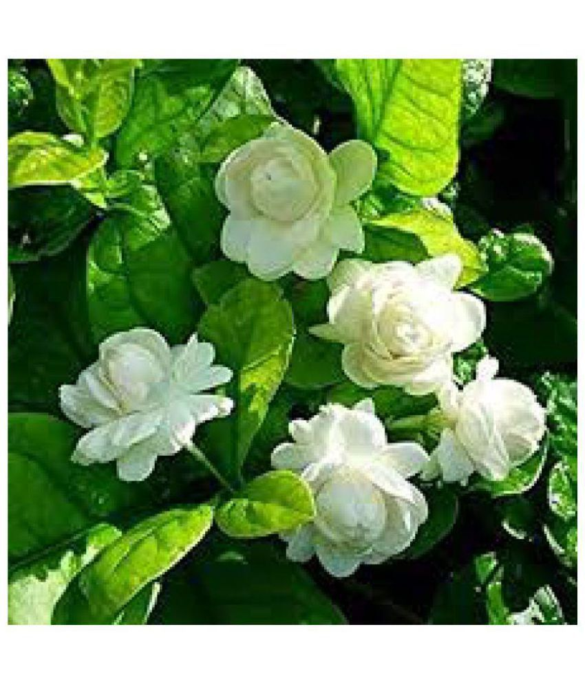 Ojorey Motiamogra Live Plant Flower Plant Buy Ojorey Motiamogra