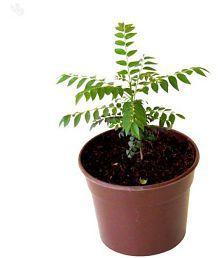 Live Nursery Curry Leaves Kadi Patta Plant Medicinal