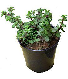 Live Nursery Jade Crula Ovata Indoor Plant
