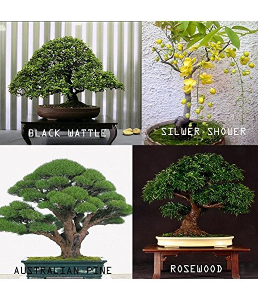 Creative Farmer Bonsai Combo Seeds 4 Types Of Tree