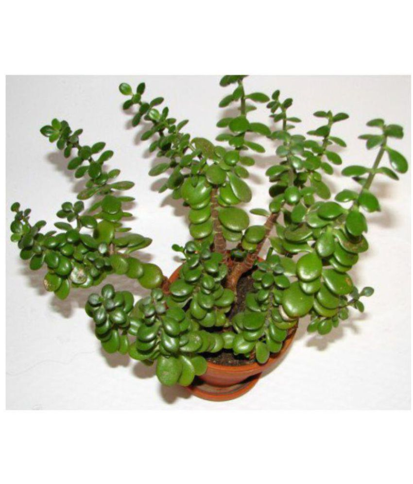 bhajanlal greenery jade plant feng shui good luck both indoor plant