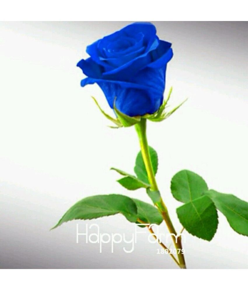 Azalea Gardens Rose Flower Seeds Blue Rose 20 Seeds Pack Buy