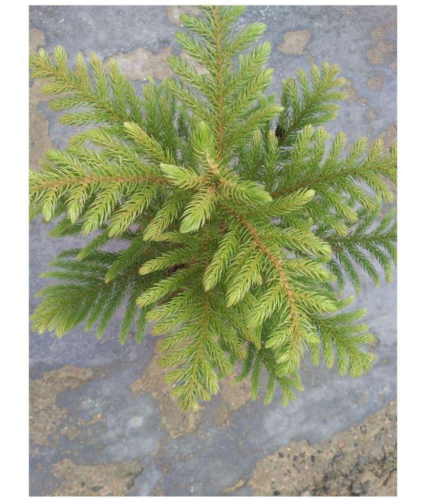 ojorey Live Christmas tree Plant Both Indoor Plant: Buy ...