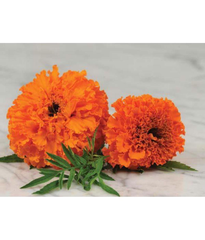Marigold flower seeds buy marigold flower seeds online at low price marigold flower seeds izmirmasajfo