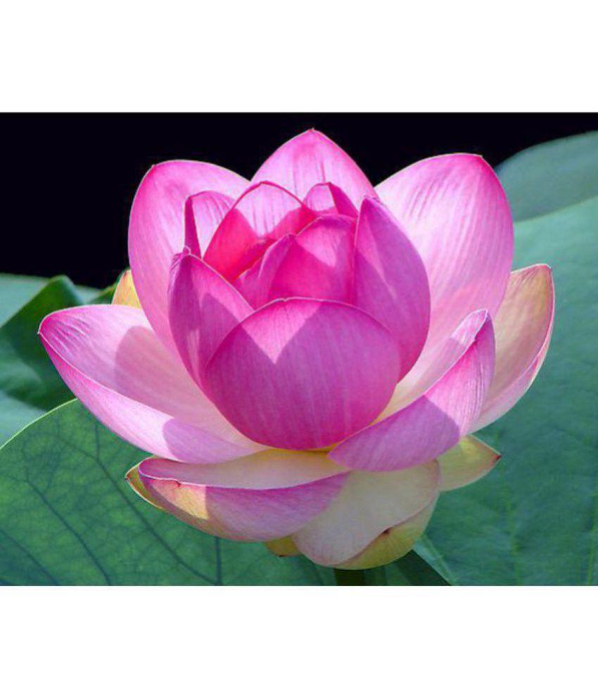 Zonato Garden Organic Lotus Flower Seeds 2525pcs Pink Red Colors