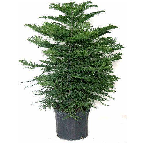 Cost Of Live Christmas Tree