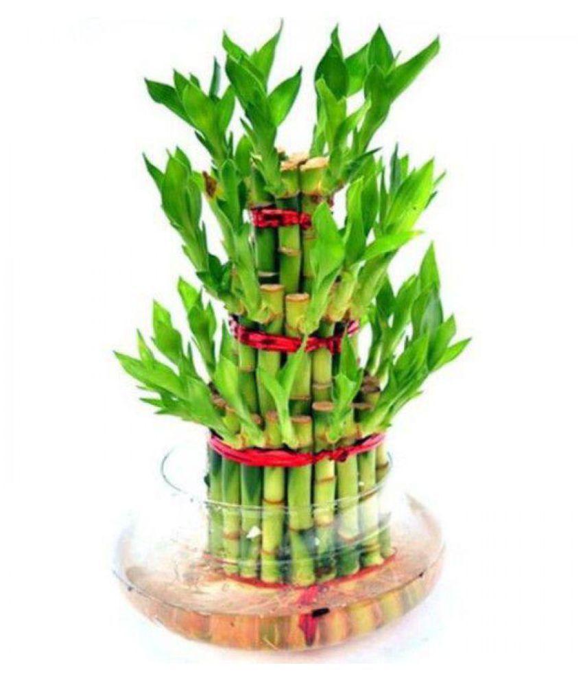 The Bonsai Plants Lucky 3 Layer Bonsai Bamboo Plant With Pot/ Bonsai Tree/  Bamboo Tree