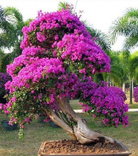 3561ec24 Purple Bougainvillea Spectabilis Wild Bonsai Flower Plant Seeds 20 Pcs/Pack  + Instruction Manual: Buy Purple Bougainvillea Spectabilis Wild Bonsai  Flower ...