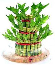 Green plant indoor 3 Layer Lucky Bamboo Bonsai Plant/ Bonsai Tree/ Bamboo Tree