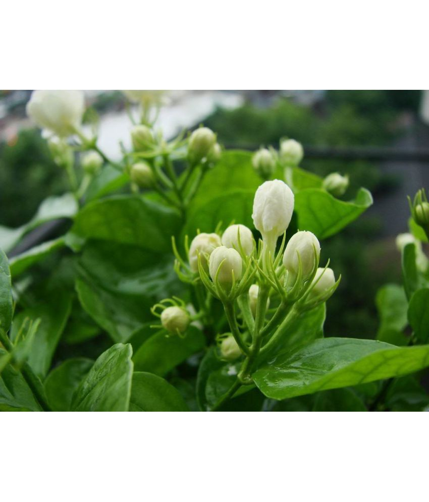 Natural Plant Jasmine Plant Mogra Flower Indoor Flower Plant Buy