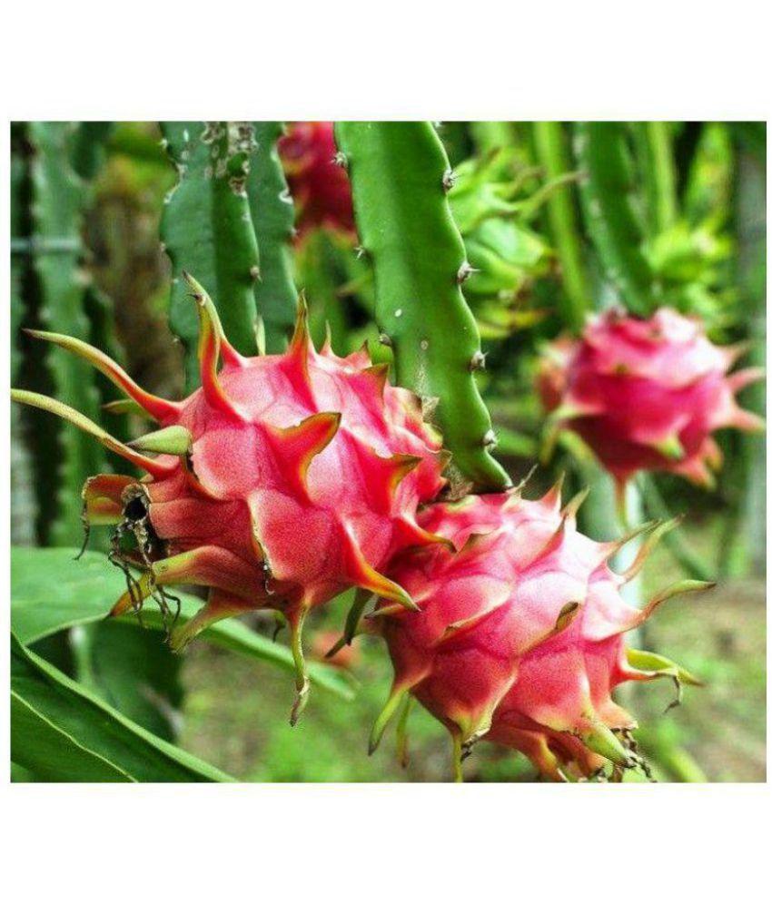 Vpn Live Dragon Fruit Ajagar Phal Healthy Fruit Fruit Plant Buy