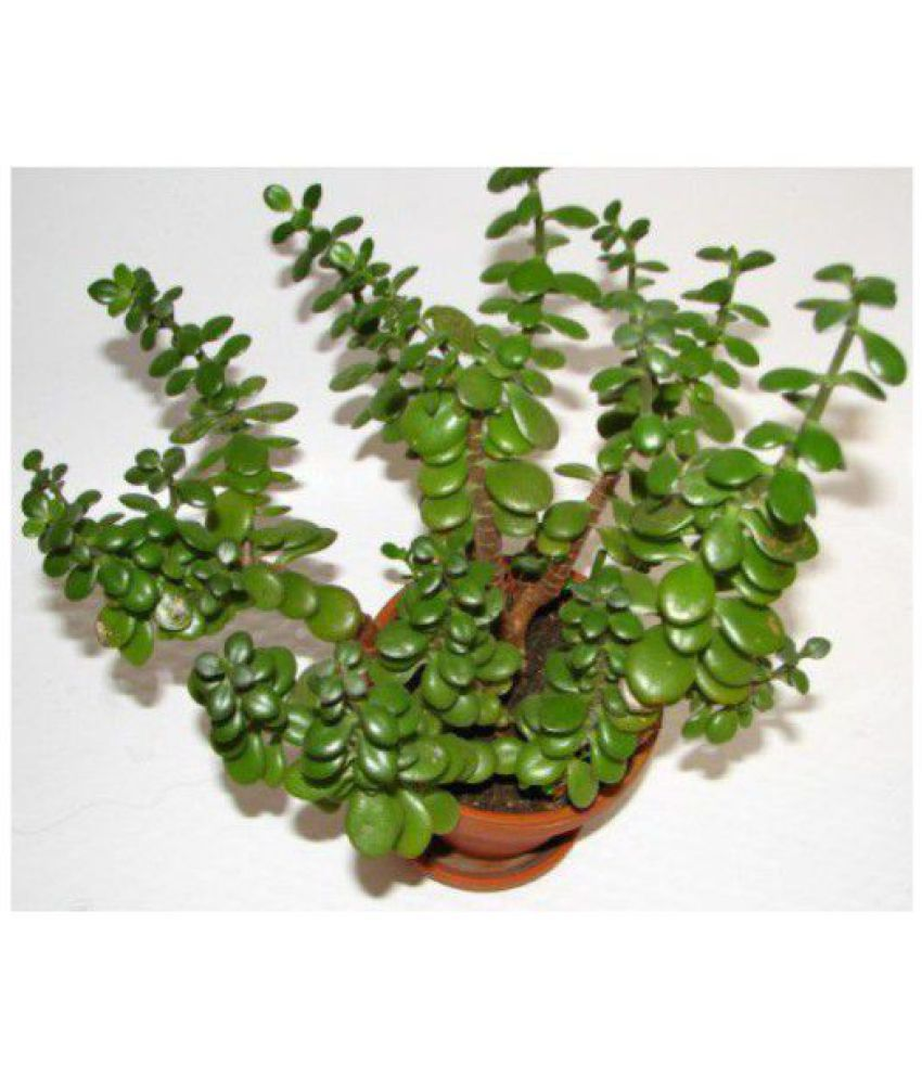 Ojorey Feng Shui Good Luck Both Indoor Plant Buy Ojorey Feng Shui Good Luck Both Indoor Plant Online At Low Price Snapdeal