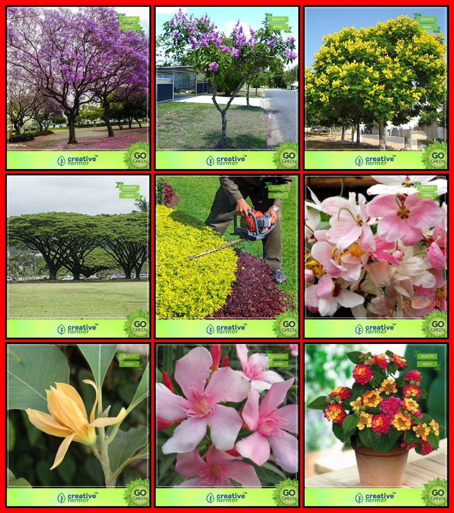 Packet Combo Tree Seeds : Blue Jacaranda, Pride Of India, Copperpod,  Albizia Saman, Michelia Champaca, Golden Dewdrop, Cassia Javanica, Indian