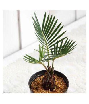 The Bonsai Plants Sago Palm Tree Perfect Bonsai Indoor Bonsai Buy The Bonsai Plants Sago Palm Tree Perfect Bonsai Indoor Bonsai Online At Low Price Snapdeal