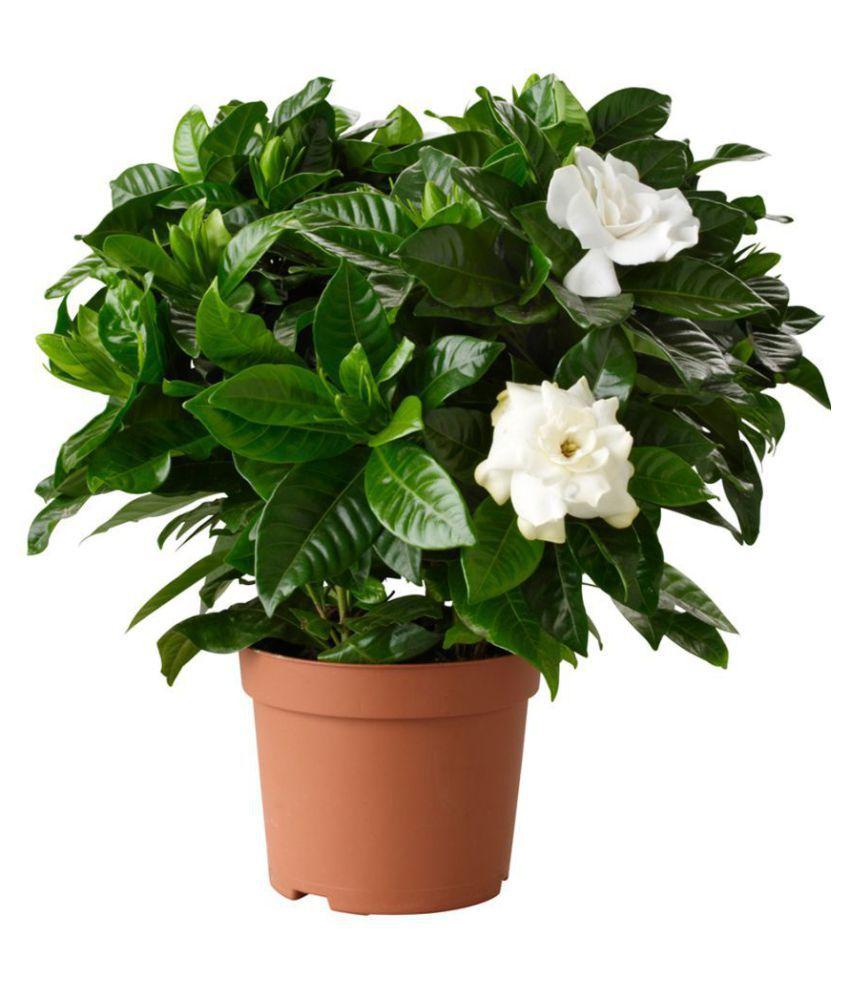 EaglesFord Jasmine Healthy India Mogra Best Pot Indoor ...