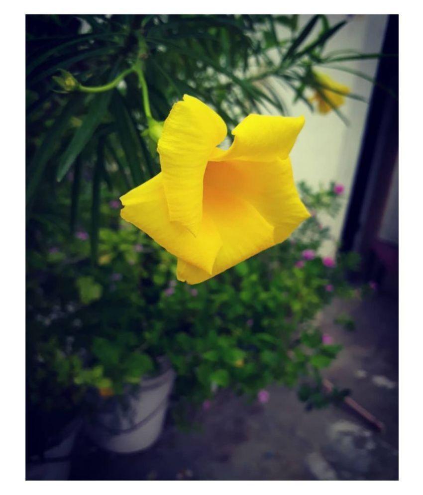Kaner Flower Nerium Oleander Natural Flower Buy Kaner Flower Nerium Oleander Natural Flower Online At Low Price Snapdeal