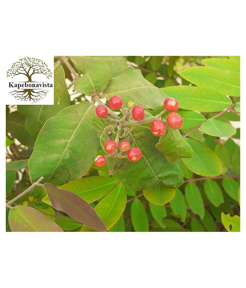 Kapebonavista patala garuda 4 month old sapling plants Raw Herbs 1 no.s Pack Of 1