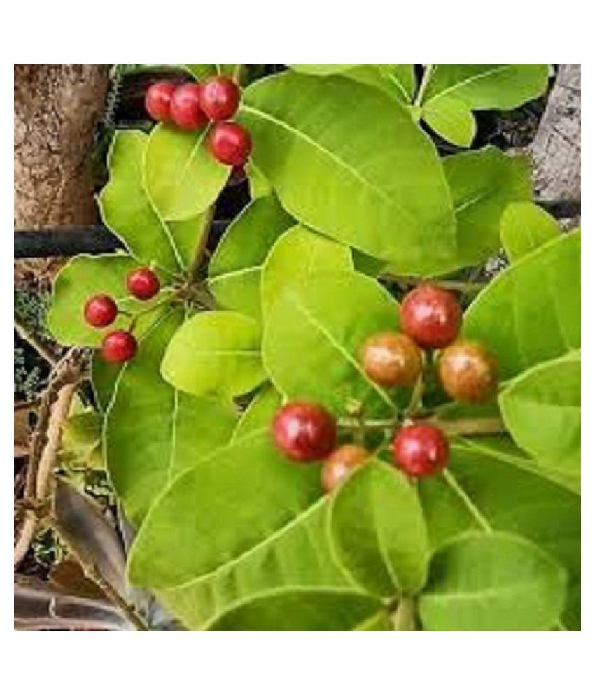 Kapebonavista Patala garuda sapling plant Raw Herbs 1 no.s Pack Of 1
