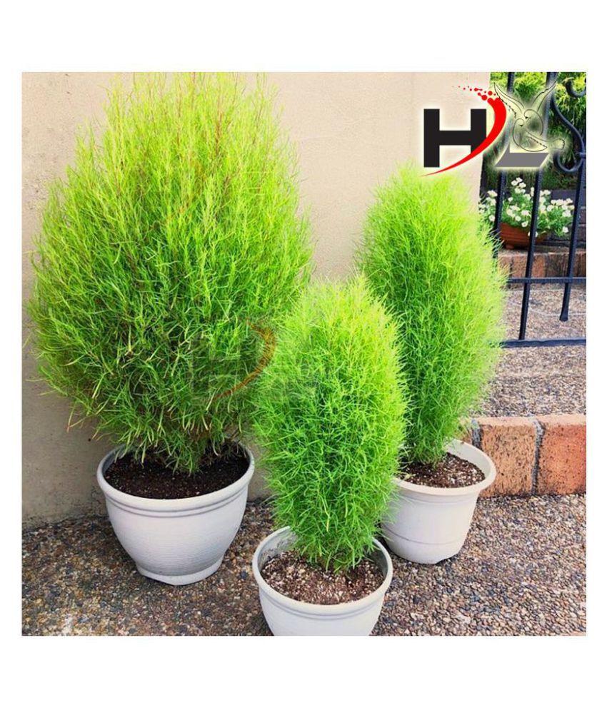 HL Kochia Green Grass Ball Flower Hybrid Seeds For Home Gardening Planting